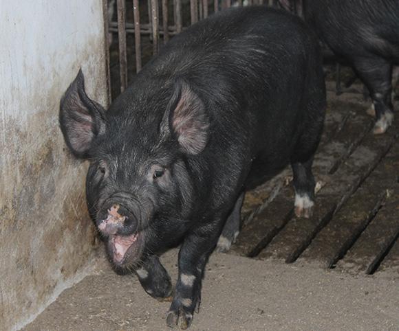 かごしま黒豚